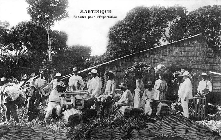 La banane Gros-Michel est la banane commercialisée au début du XXe siècle aux Antilles Crédit : Fonds UGPBAN