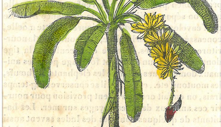 bananier et sa popote - gravure du 19ème siècle