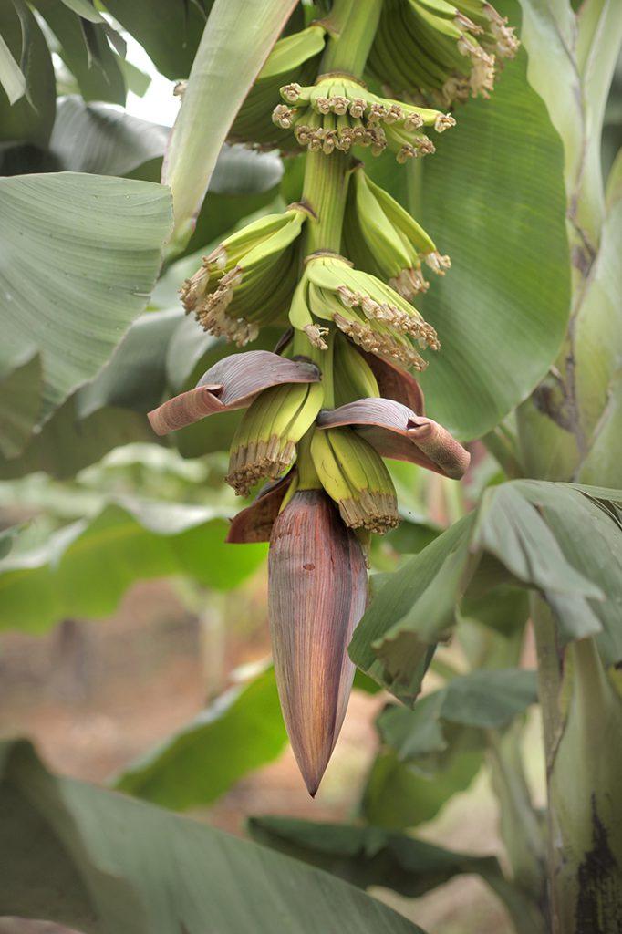 Régime de jeunes bananes avec popote à son extrémité