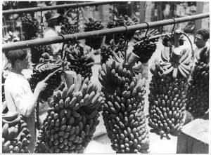 Canaries préparation des régimes de bananes. Fonds UGPBAN