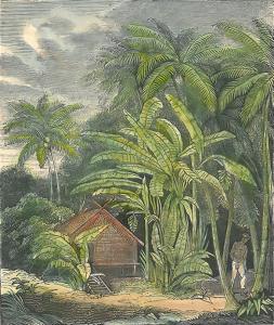 Case entourée de bananiers (gravure). Fonds UGPBAN