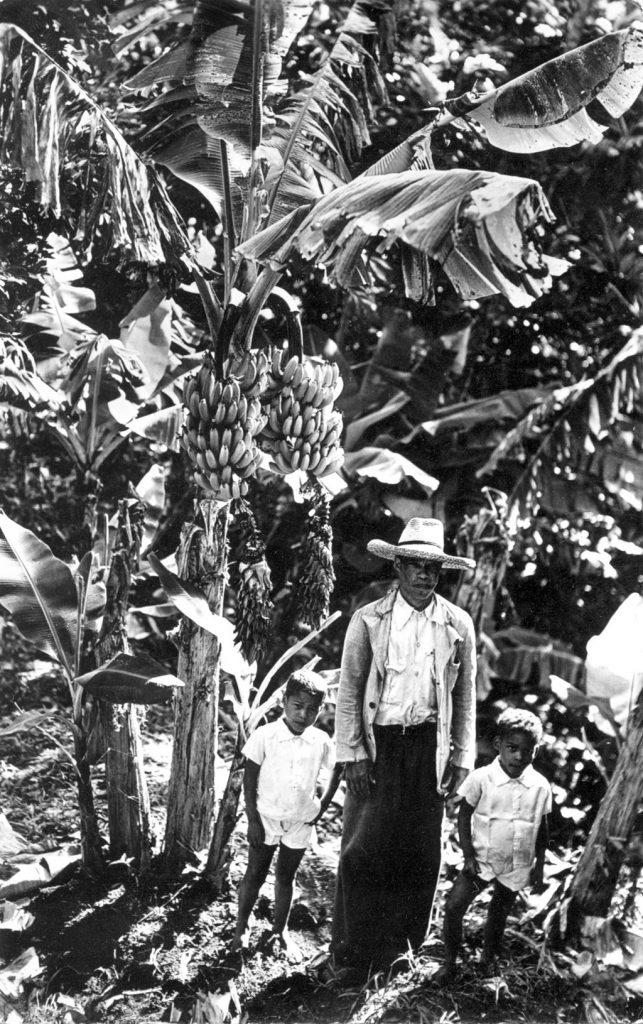 La banane antillaise, une agriculture familiale