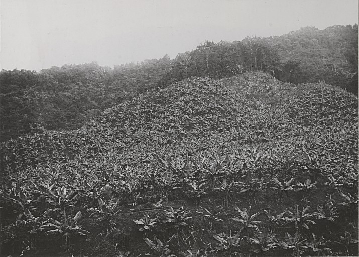 Plantation de bananes Propreté, Morne-Rouge (Martinique)