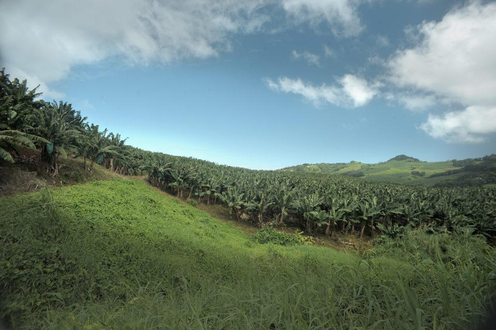 Plantation de bananes en Martinique @UGPBAN