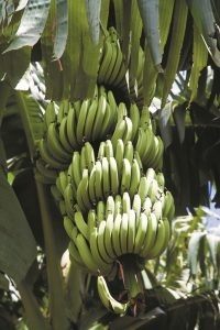 régime de bananes Martinique