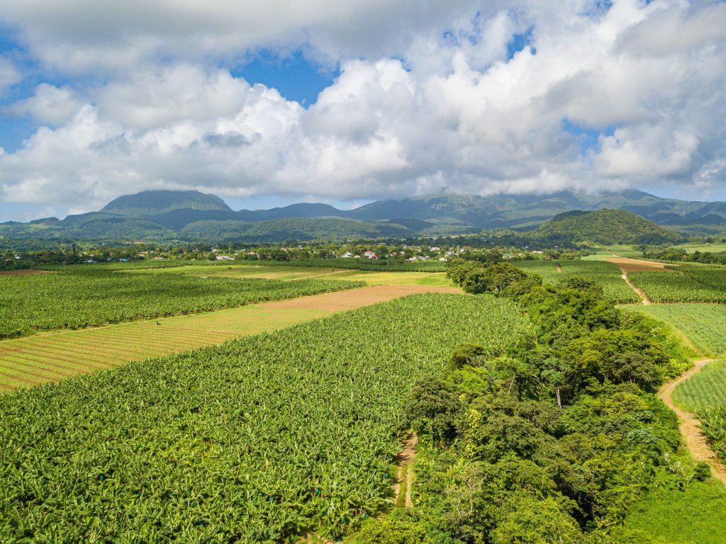 Bananeraie en Guadeloupe