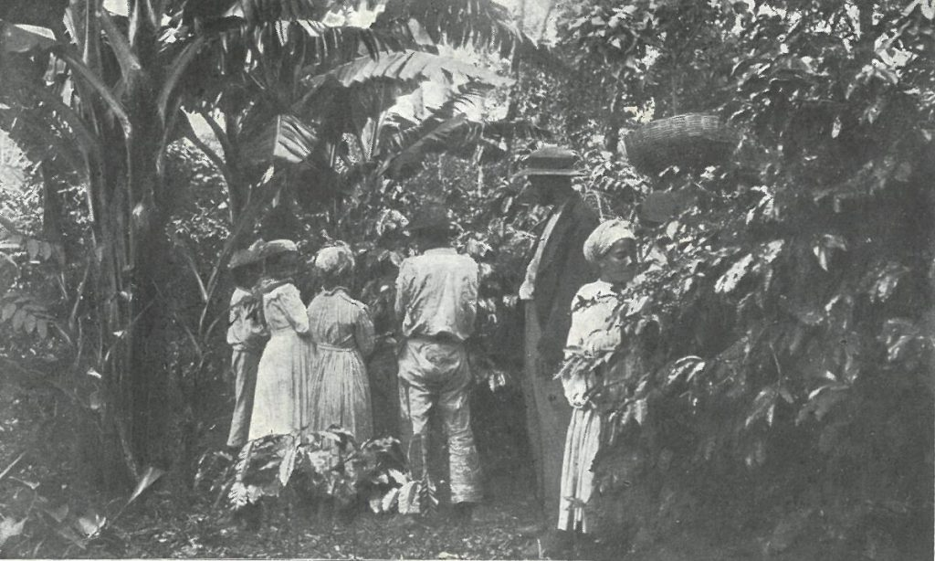 Récolte de café. Les bananiers sont visibles à gauche @Fonds UGPBAN