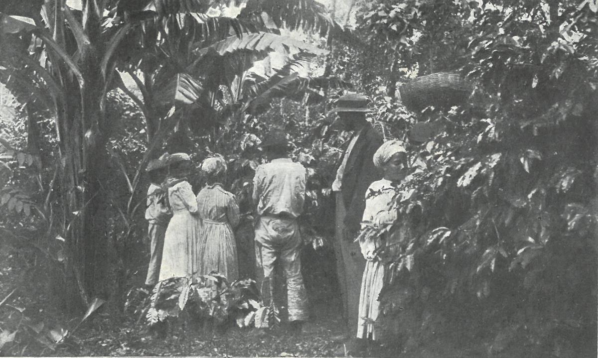 Récolte de café avec présence de bananiers