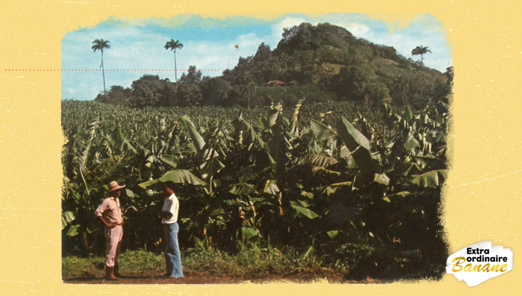 planteur de bananes